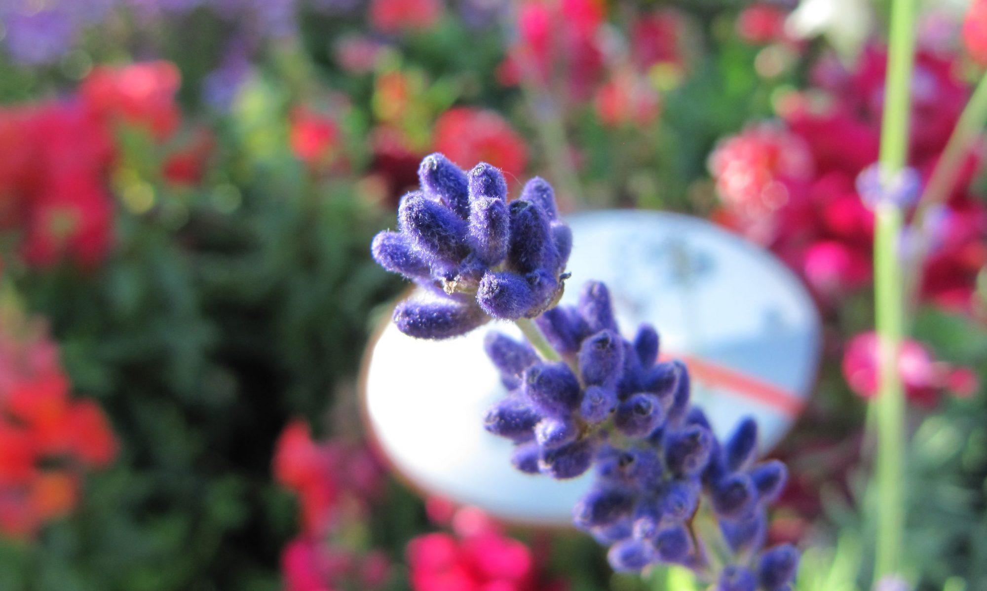 Gartenpflanzen Rosenkranz